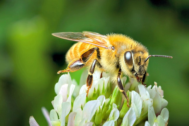 New Zealand honey bee