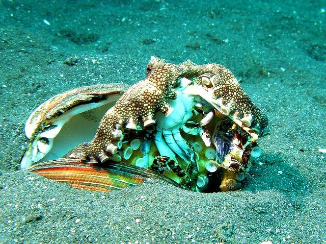 Octopus diet - Veined Octopus - Amphioctopus Marginatus eating a Crab