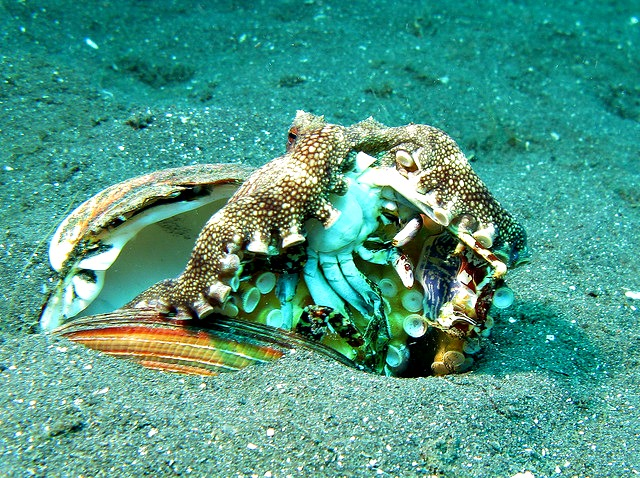 Octopus diet - Veined Octopus - Amphioctopus Marginatus eating a Crab
