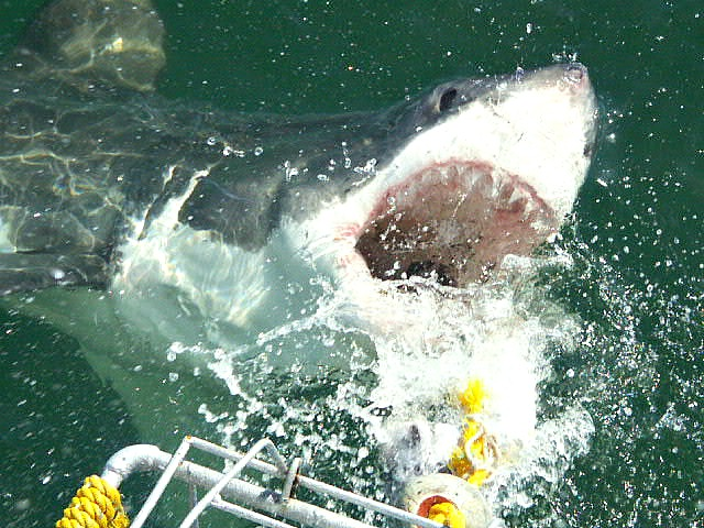 Shark Cage Diving in Hermanus