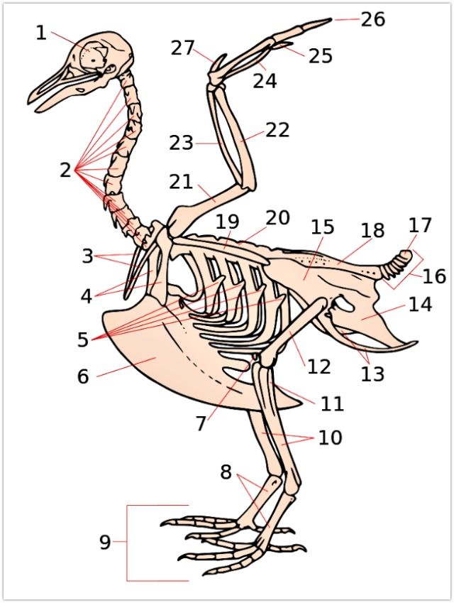 Squelette oiseau