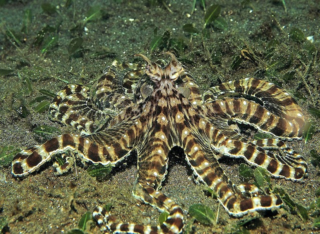 mimic_octopus