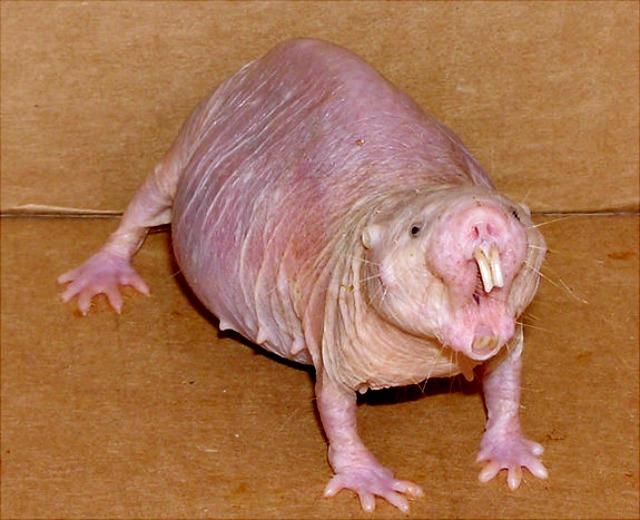 naked-mole-rat