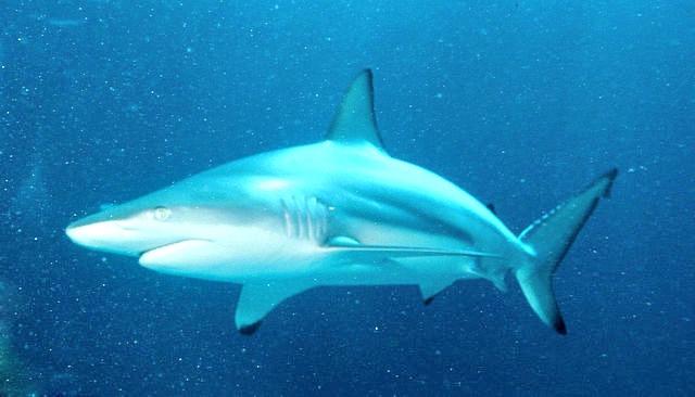 Carcharhinus_limbatus_Blacktip_Shark