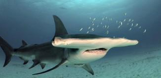 Great_hammerhead_shark