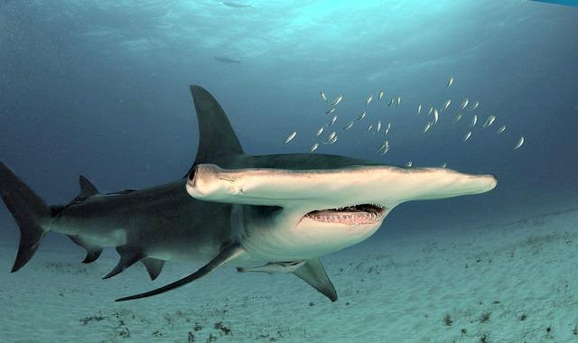 Great_hammerhead_shark