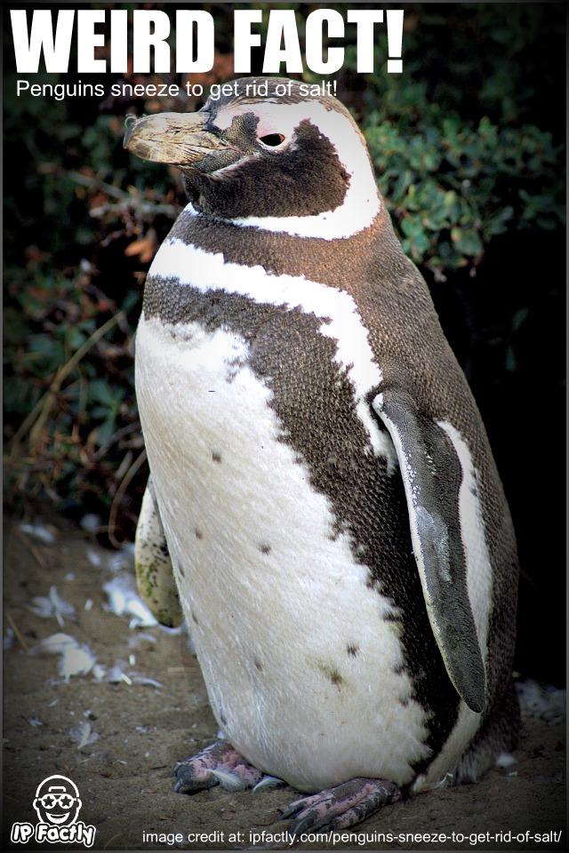 Magellanic_penguin