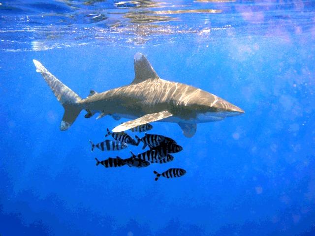Oceanic_Whitetip_Shark