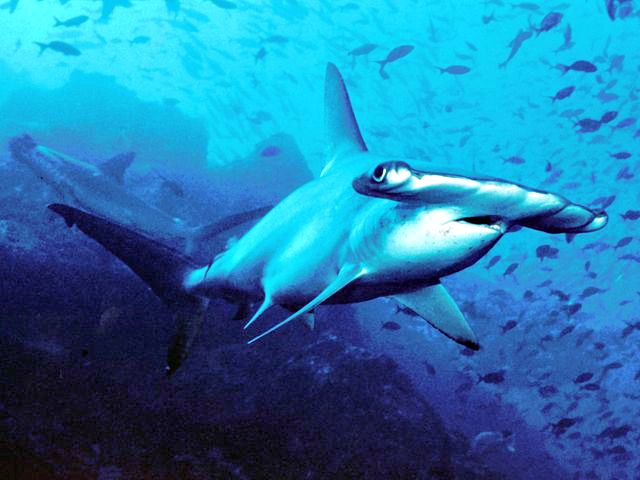 Scalloped_hammerhead