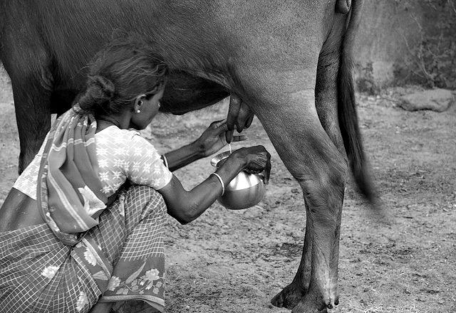 cow milk india