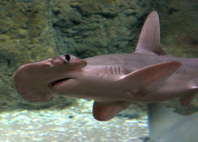 hammerhead_shark_vision