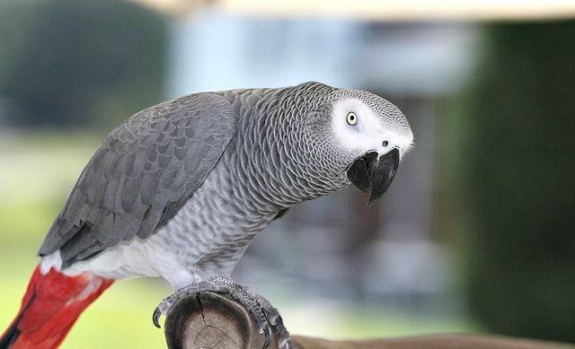 African_Grey_Parrot