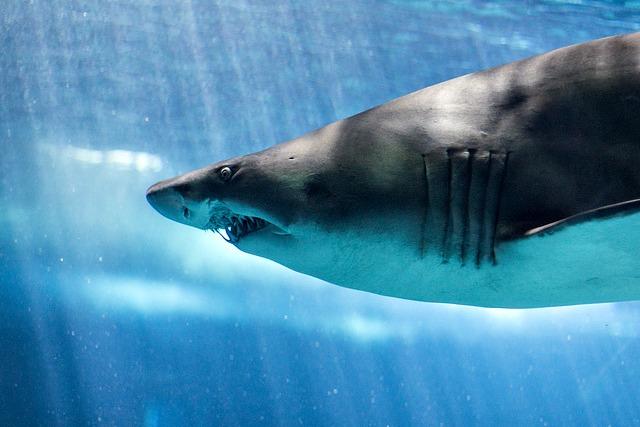 Carcharias_taurus_Bull_Shark