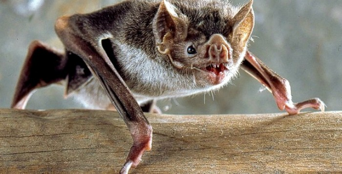 Common_Vampire_Bat_Desmodus_rotundus