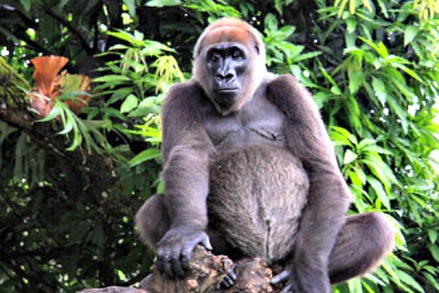 Cross_river_gorilla
