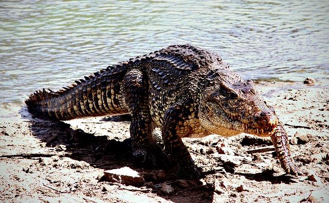 Cuban_crocodile_Rhombifer