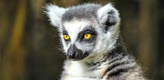 Female_Ring_Tailed_Lemur