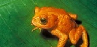Golden_Toad_Bufo_periglenes