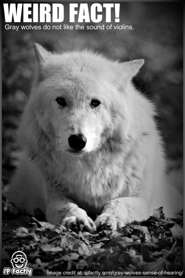 Gray Wolves Do Not Like The Sound Of Violins Always