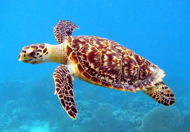 Hawks_bill_Sea_Turtle