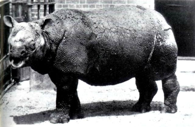 Javan_Rhinoceros_sondaicus
