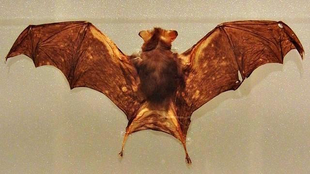 Kitti's_hog-nosed_bat_Stuffed_specimen