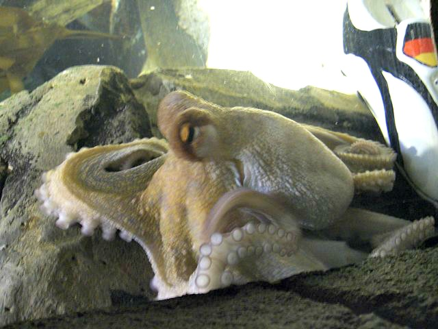 Oktopus-Orakel_Paul_mit_Schuh