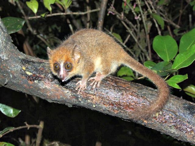 Pygmy_mouse_lemur_Microcebus_myoxinus