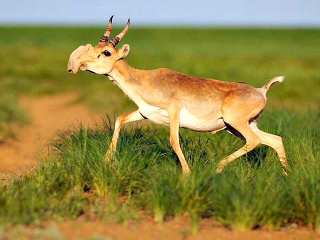 Saiga_Antelope