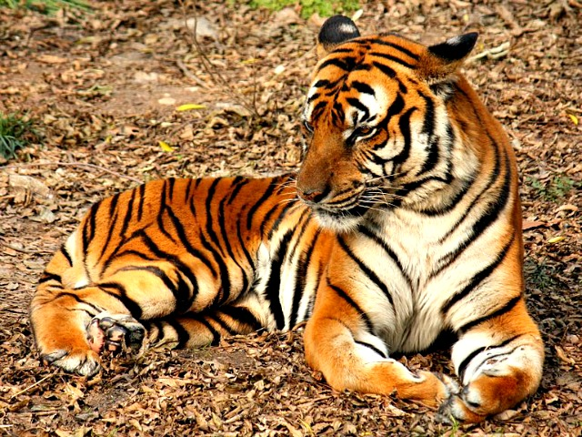 South_Chinese_Tiger_Suedchinesischer_Tiger