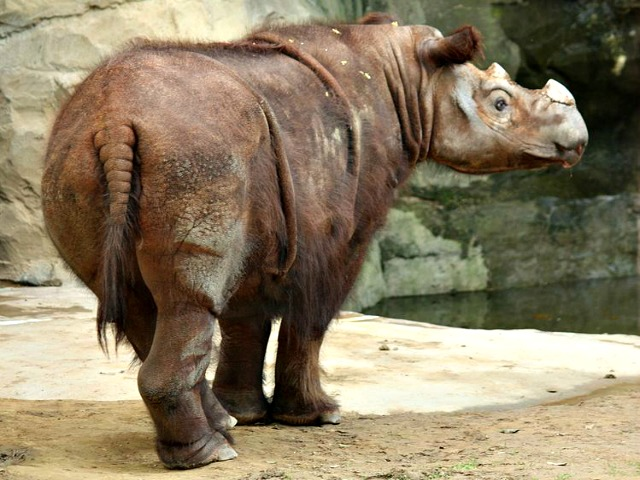 Sumatran_Rhino_Cincinnati_Zoo