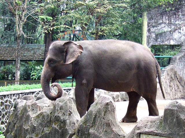 Sumatran_elephant_Ragunan_Zoo