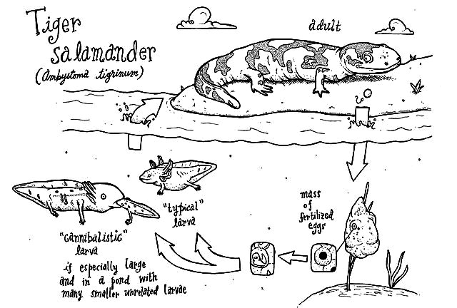 Tiger_salamander_cycle