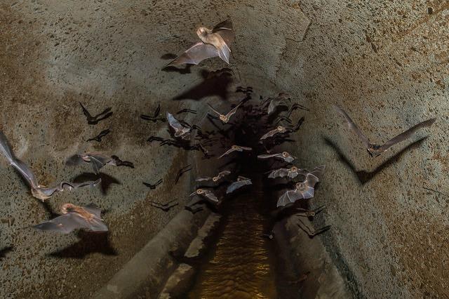 Vampire_Bats_swarm