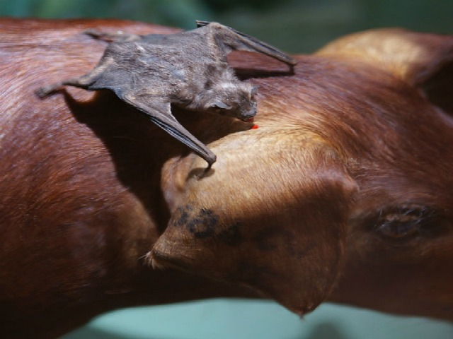 Vampire_bat_Desmodus_rotundus_feeding_blood