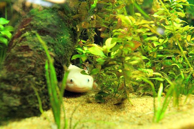 axolotl_pet_aquarium