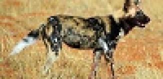African_wild_dog_Lycaon_pictus_pictus