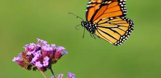 Monarch_butterfly_in_flight