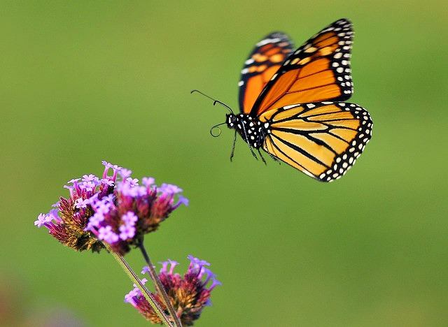 Monarch_butterfly_in_flight