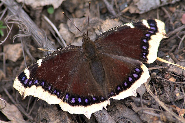 Mourning_Cloak_Butterfly