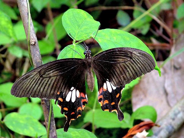 Papilio_polytes_stichius_by_kadavoor