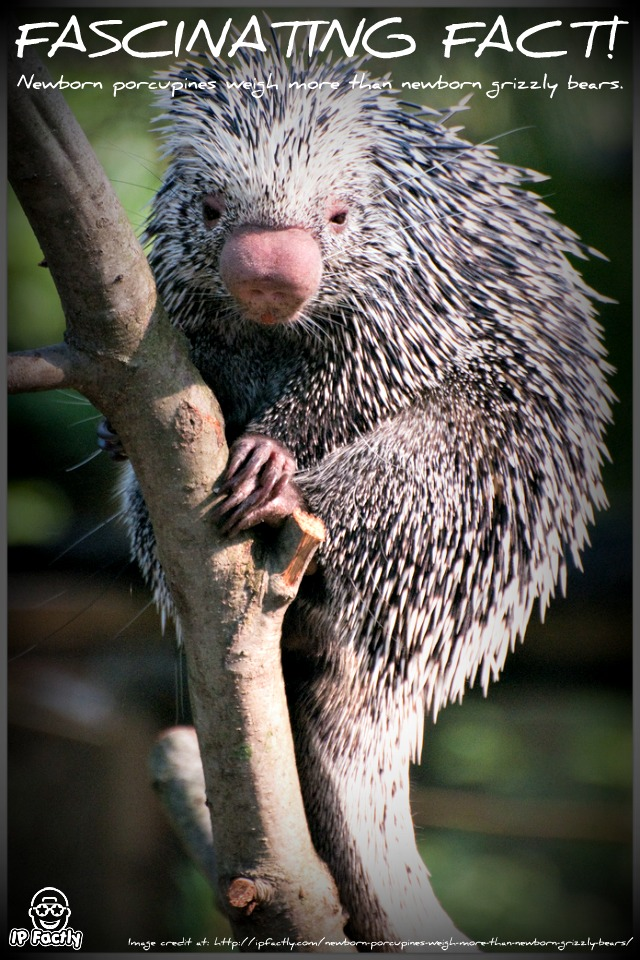Prehensile_Tailed_Porcupine