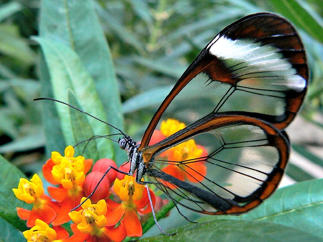 South_American_butterfly_wings