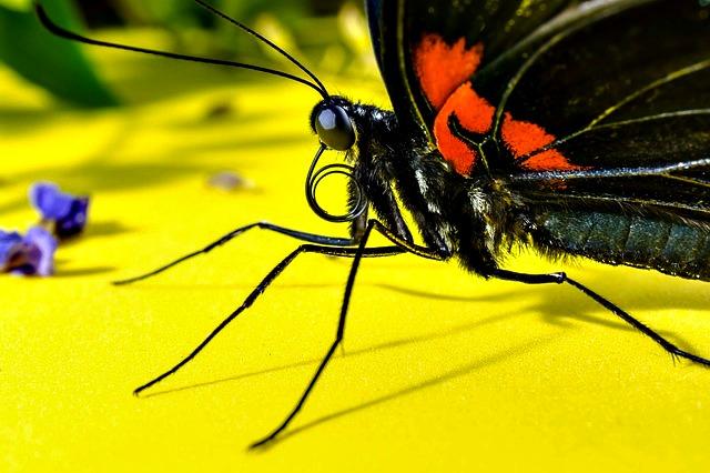 butterfly_proboscis