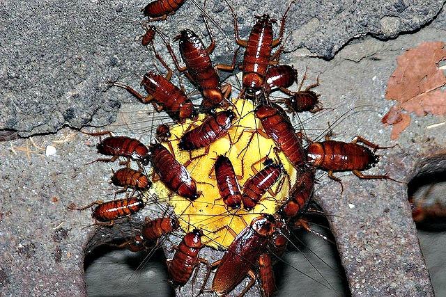 cockroach_swarm