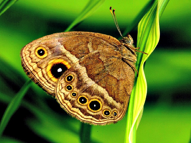 squinting_bush_brown_butterfly