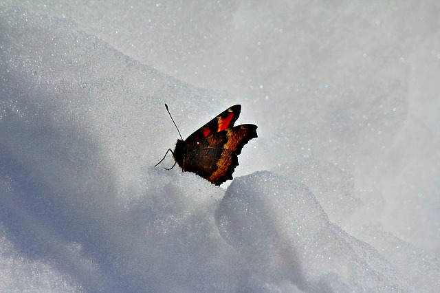 winter_butterfly