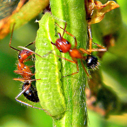 myrmecophily_ants-caterpillar