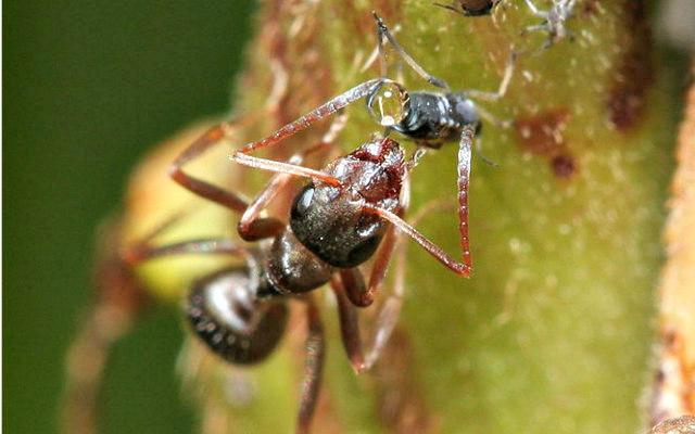 Ant_feeding_on_aphid_honey_dew