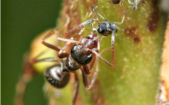Ant_feeding_on_aphid_honey_dew